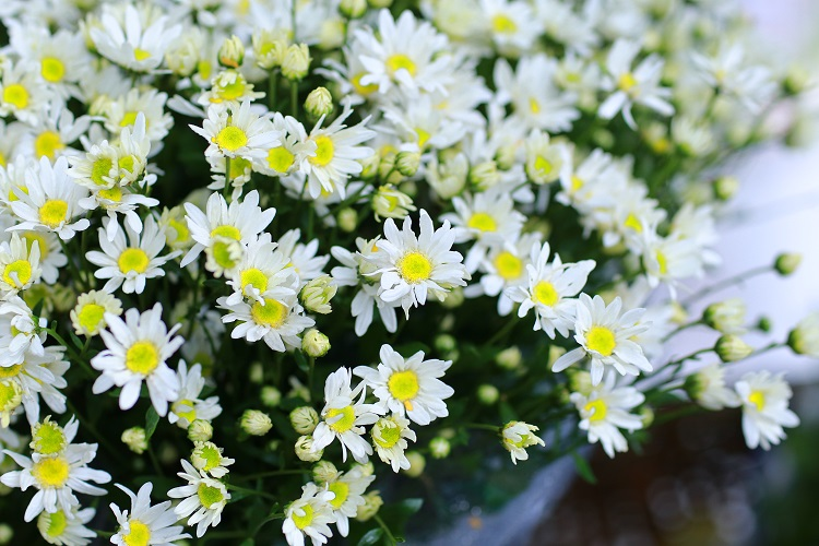 Cúc họa mi - loài hoa báo hiệu đông về