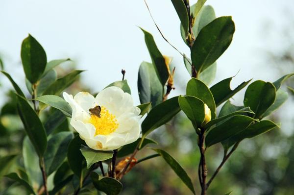 Mùa hoa sở trắng trời biên thuỳ đất Bình Liêu