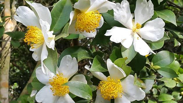 Rạng rỡ hoa sở trắng trời biên thuỳ