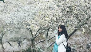 Khung cảnh thơ mộng của Mộc Châu mùa hoa mận