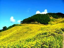 Rực rỡ sắc vàng mùa dã quỳ ở Mộc Châu