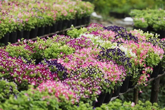 Sa Đéc làng hoa của mùa xuân